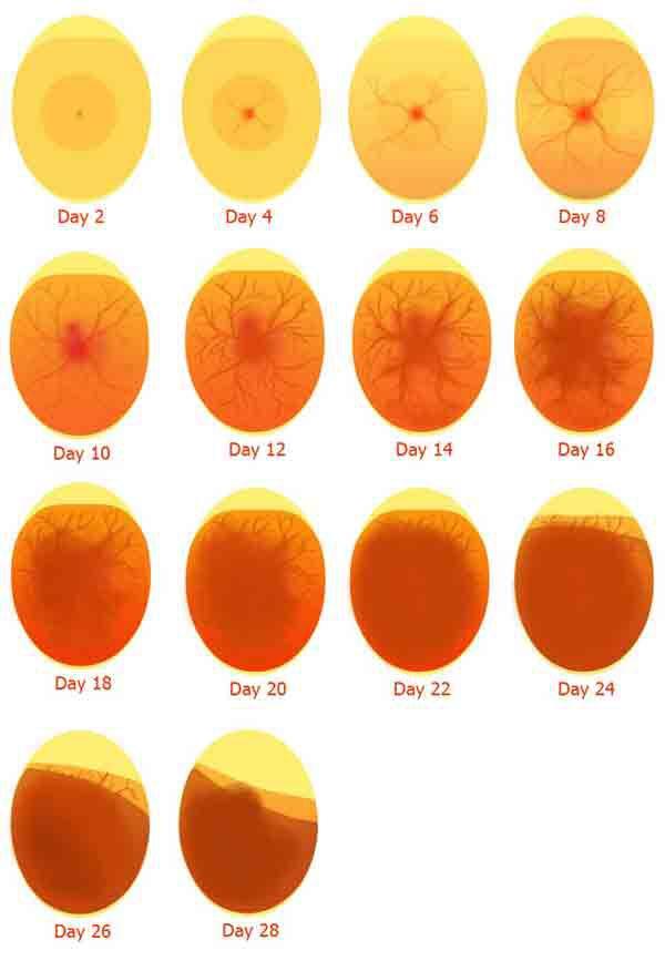 Cách nhận biết trứng gà có trống. Cách soi trứng gà có trống