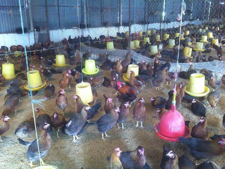 Giá gà siêu trứng d300 giống. Mua bán gà siêu trứng d300 giống