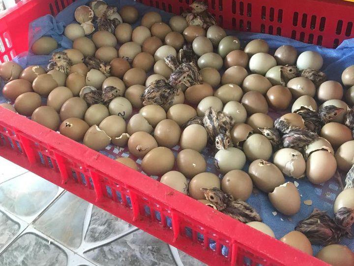 Kỹ thuật nuôi chim trĩ đẻ trứng. Cách ấp trứng chim trĩ