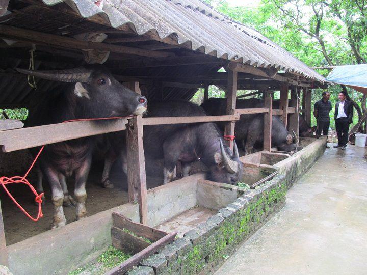 Kỹ thuật nuôi trâu thịt nhốt chuồng. Cách nuôi trâu vỗ béo nhanh nhất