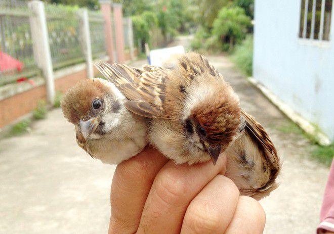 Kỹ thuật nuôi chim sẻ sinh sản. Chuồng nuôi và Thức ăn cho chim sẻ