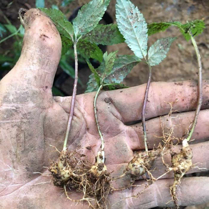 Giá cây giống, hạt giống sâm Ngọc Linh. Mua bán giống sâm Ngọc Linh